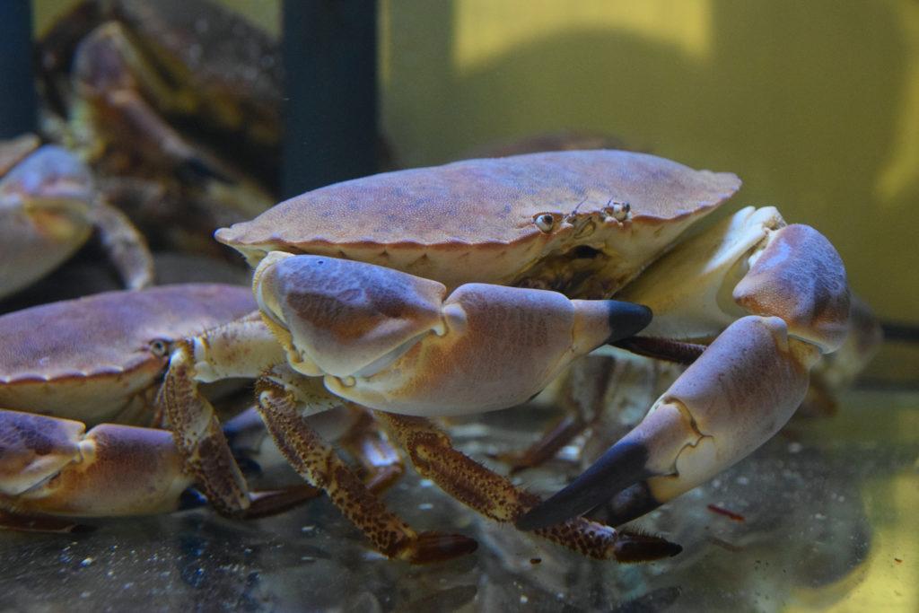 Au-vivier-de-la-mer-restaurant-Roissy-en-France-un-crabe-qui-vit-dans-le-vivier-a-crustaces-du-restaurant