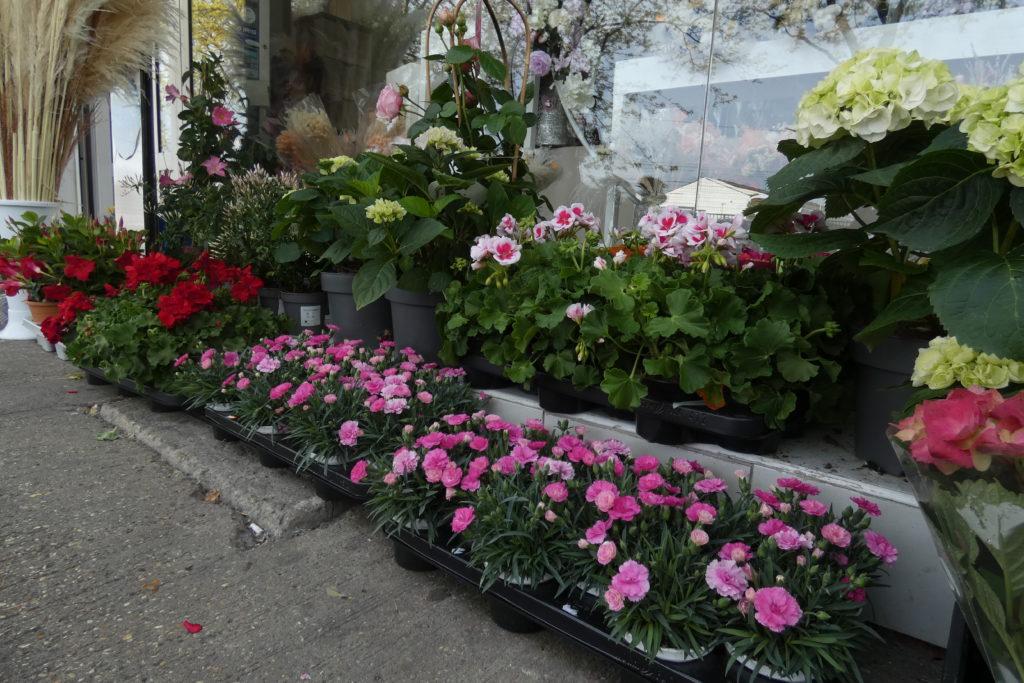 Fleurs-en-pot-Lilas-fleurs-Arnouville