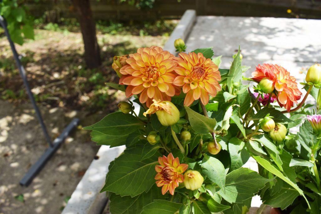 Les-Serres-de-Mitry-Horticulteur-Maraicher-Mitry-Mory-Dahlia-oranges