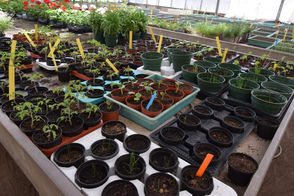 Les-Serres-de-Mitry-Horticulteur-Maraicher-Mitry-Mory-interieur-de-la-serre-couverte-avec-jeunes-plants