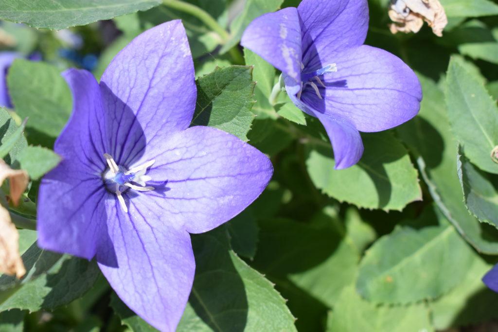 Les-Serres-de-Mitry-Horticulteur-Maraicher-Mitry-Mory-plante-vivace-campanule